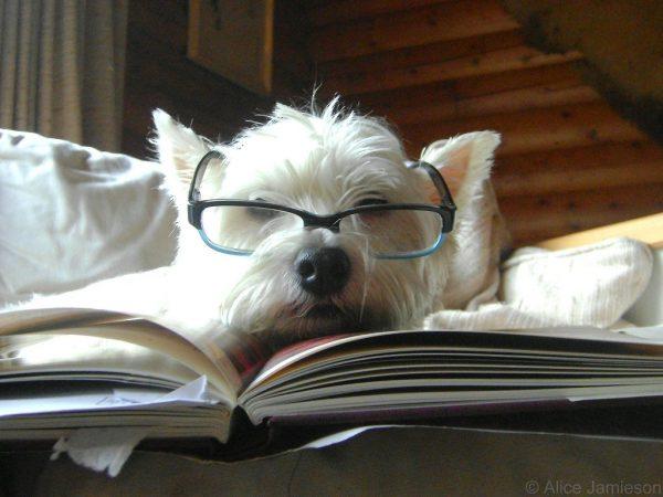 Koira lukemassa kirjaa